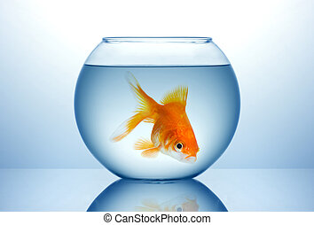 Fish bowl with cold fish - Fish bowl with gold fish in blue...