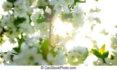 apricot flowers blooming in spring