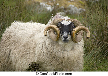 sheep, ram, Harris Island