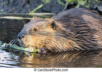 Beaver Chewing on a Branch in the Wild - Young beaver...