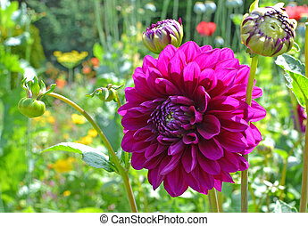A Purple Dahlia - A large purple dahlia with a garden...