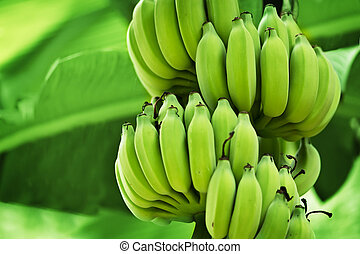 Unripe bananas in the jungle close up