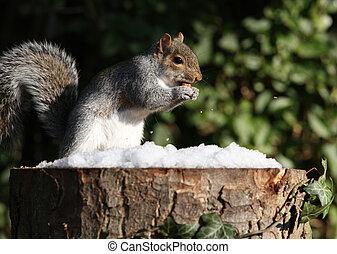 冬天, 松鼠, 灰色