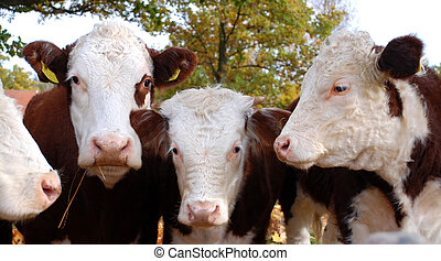 four cows posing in front of the camera
