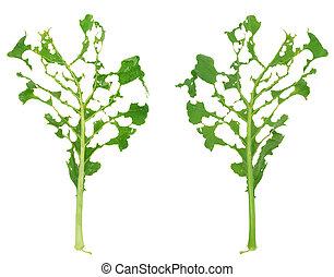 Slug damage of green kohlrabi leaf