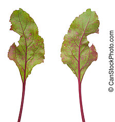 Infection of beetroot leaf by Cercospora beticola