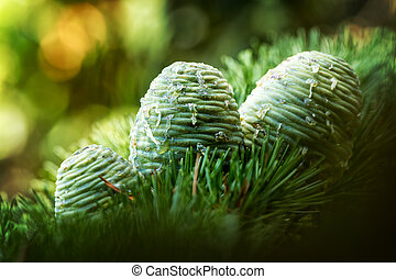 Pinecones - Young cones of  Atlas Cedar (Atlas Cedar)