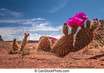 Wild Cacti Blossom in the Canyon