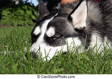 Resting - A purebred siberian husky lies on the lawn to get...