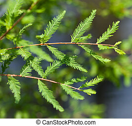 Bald Cypress - Close-up of Bald Cypress leaves (Taxodium...