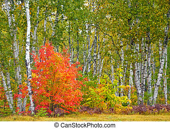 Fall Color, White Birches - Fall Color, white birches, Maine