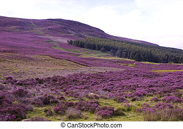 Field of Heather - Heather, scottish highlands