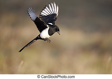 Magpie, Pica pica, single bird in flight, Warwickshire,...