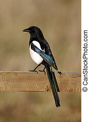 Magpie, Pica pica, single bird on fence, Warwickshire,...