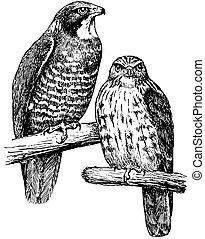 Birds Grey-faced Buzzard