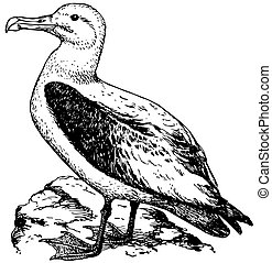 Bird Short-tailed Albatross