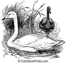 Birds Whooper Swan