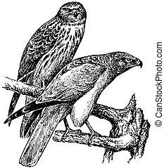 Birds Northern Harrier