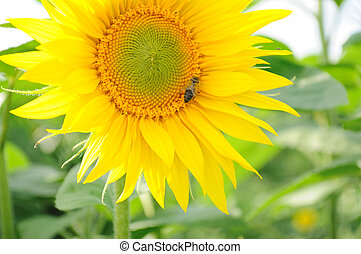 Sunflower and bee - Close-up of bee on sunflower