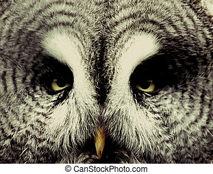 Grey owl - closeup of a captive grey owl