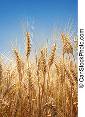 Wheat field in summer close up