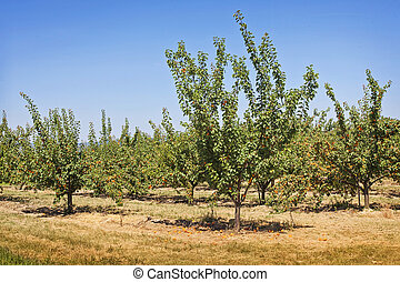 Peach trees in a summer orchard