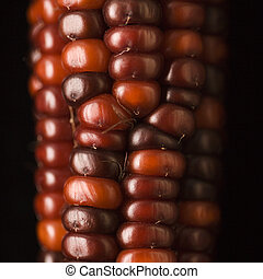 Red Indian corn. - Close-up of red ear of Indian corn.