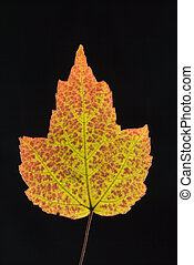 Maple leaf in Fall color.