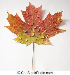 Maple leaf in Fall color. - Sugar Maple leaf in Fall color...