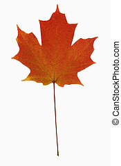 Red Maple leaf on white. - Red Sugar Maple leaf against...