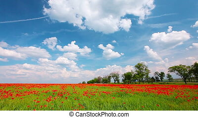 field of red poppies and cloudy sky