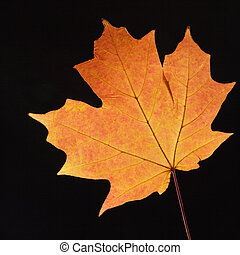Orange Maple leaf on black - Red Sugar Maple leaf against...
