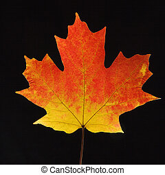 Maple leaf on black. - Sugar Maple leaf against black...