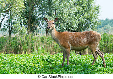 Female deer in nature - Female deer in the Dutch...