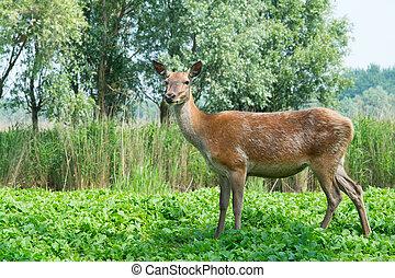 Female deer in nature - Female deer in the Dutch...