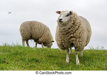 Texel sheep at Dutch wadden island - Texel sheep on dyke at...