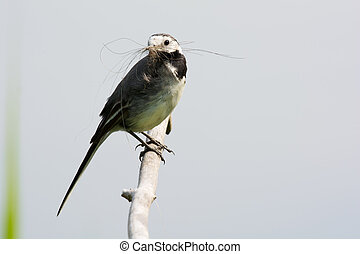 White Wagtail - White wagtail with nest naterial