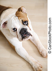 Bulldog lying on wood floor.