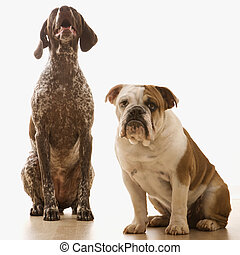 Two dogs sitting - English Bulldog and German Shorthaired...