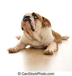 English Bulldog on floor. - English Bulldog lying on floor...