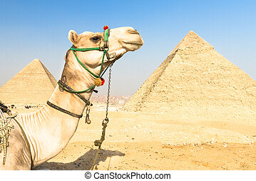 Camel at Giza pyramides, Cairo, Egypt - A patient camel with...