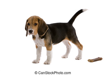 Young beagle with bone