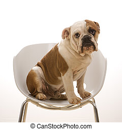 English Bulldog portrait. - English Bulldog sitting in...