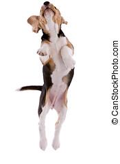 voando, beagle