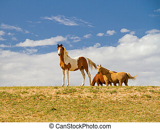 Pinto horses - Pinto horse in the foreground with a palomino...