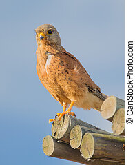 Rock Kestrel - A Rock Kestrel sitting on some wooden poles