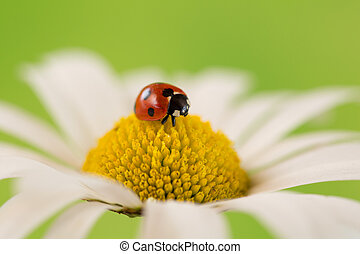 Ladybug on the blossom of a flower - A small ladybug on the...