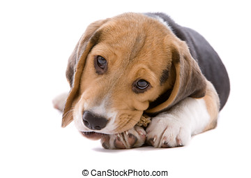 Busy chewing - Adorable young beagle pup chewing on its bone...