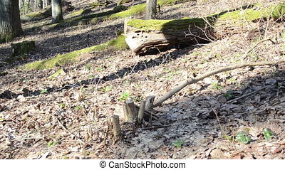 fallen mossy tree trunks - panoramic view of the forest on a...