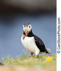 Puffin - Atlantic Puffin